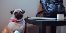Spotify cria playlist para desestressar pets que ficam sozinhos em casa