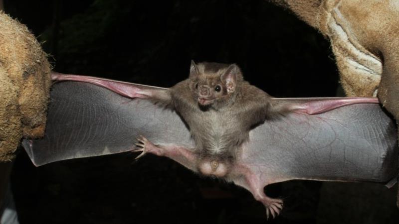 Morcego de espécie rara, que se alimenta de sangue de animais, é encontrado em Restinga Seca