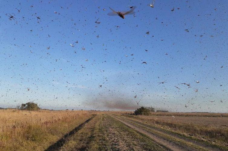 Secretaria da Agricultura aumenta vigilância sobre nuvem de gafanhotos que deve chegar ao Estado