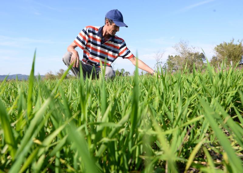 Produtor vale-solense experimenta cultivo de trigo