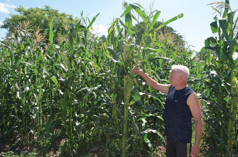 Últimas chuvas garantiram o desenvolvimento do milho