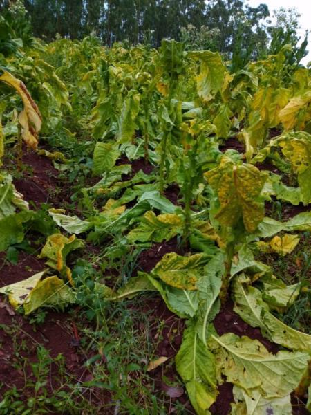 Prejuízo foi registrado em 145 lavouras de tabaco