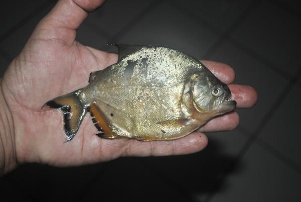Aumento desordenado da quantidade dessa espécie de peixe pode fazer com que desapareçam outras espécies