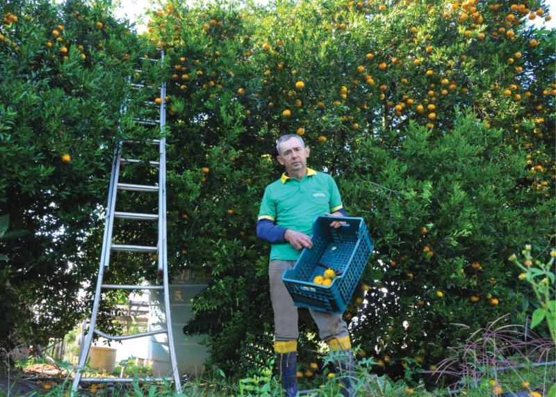 Frantz realiza a colheita manualmente em sua propriedade no interior de Vera Cruz