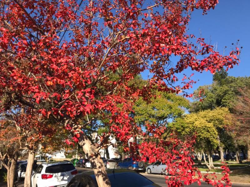 Do rosa ao tom avermelhado, extremosa segue colorindo Santa Cruz do Sul