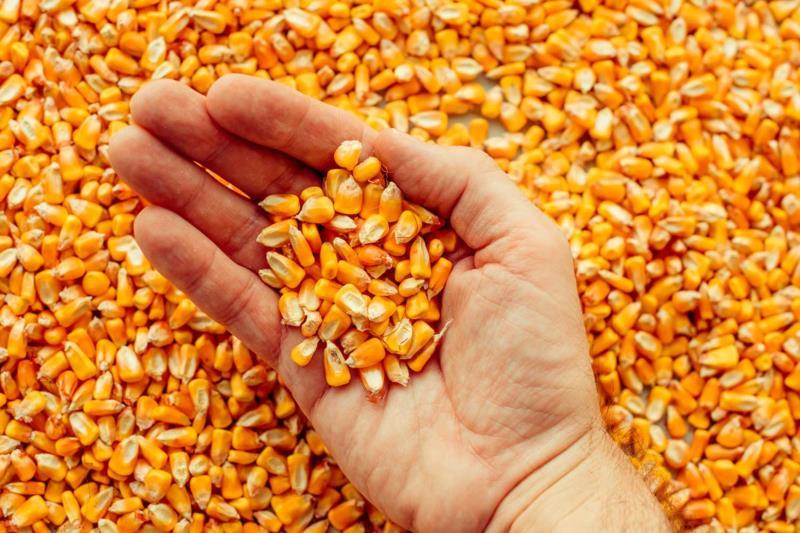 Produtores atingidos pela estiagem estão isentos de pagamento de sementes safra na atual safra