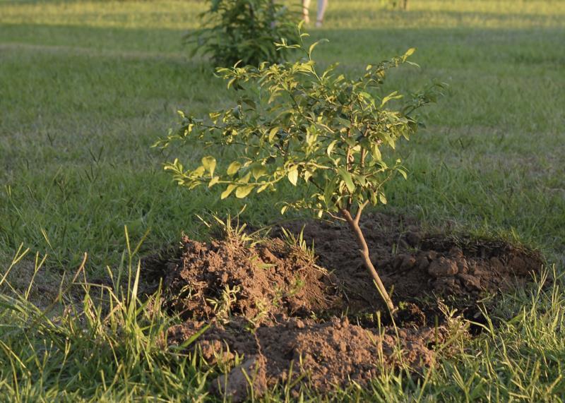 Nesta terça serão plantadas mudas nativas frutíferas