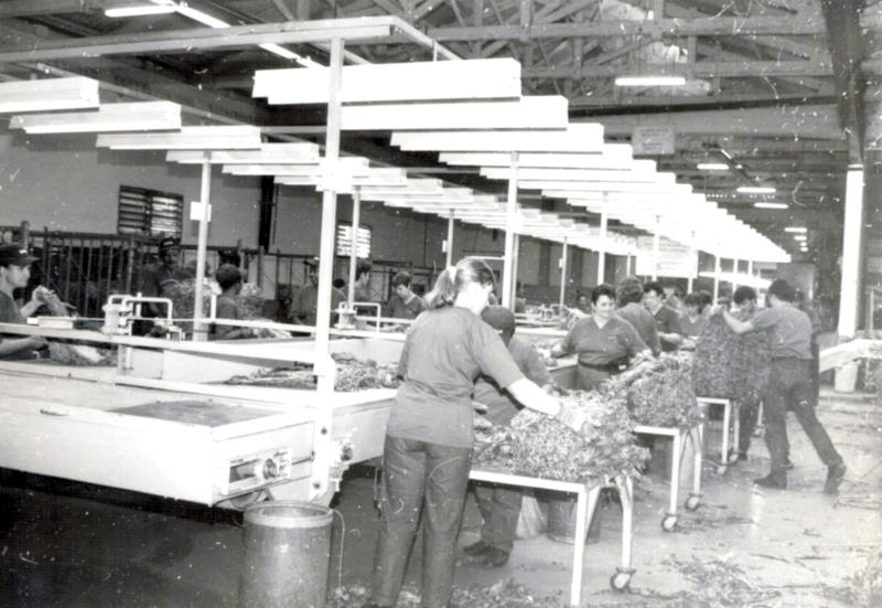 Processo de beneficiamento do tabaco era feito de forma manual