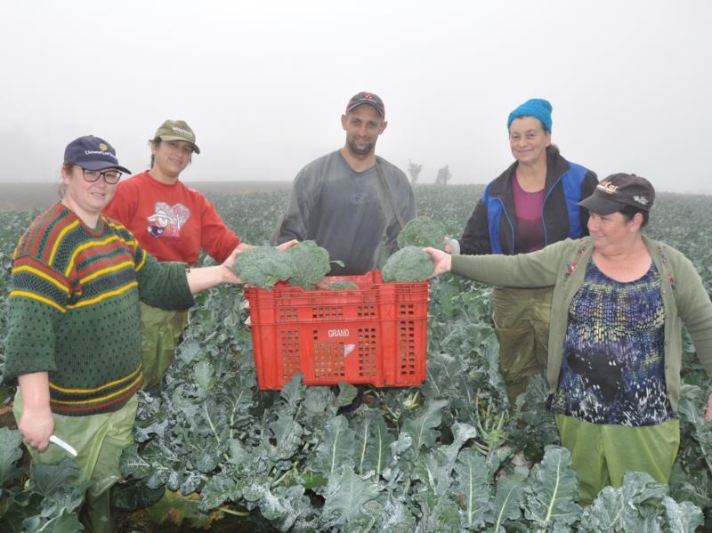 Durante a manhã de ontem, colheita foi realizada sob forte cerração