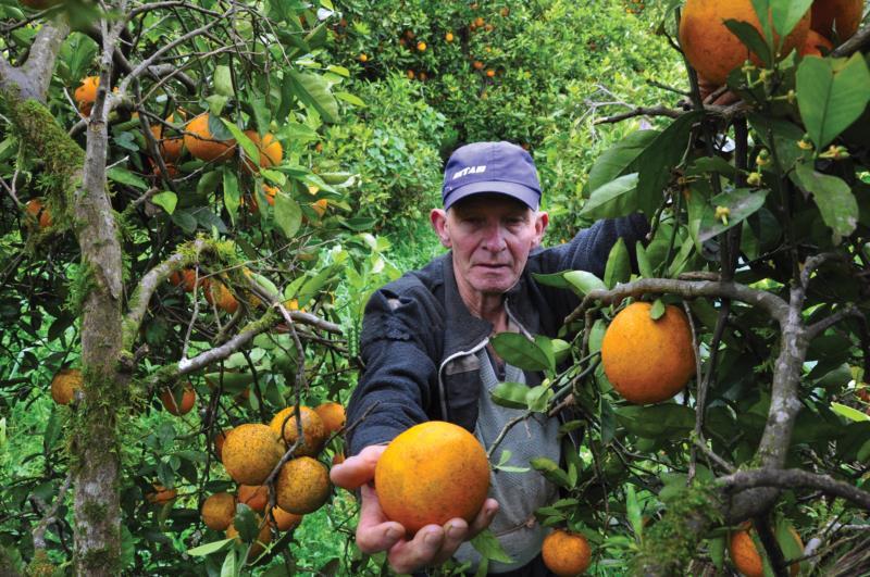 Romeu conta com mais de 400 pés da fruta na sua propriedade em Fontes do Vale