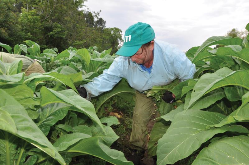 Na propriedade em Rincãoda Serra, colheita iniciou nesta quinta-feira